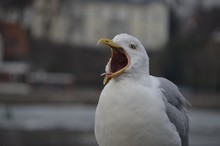 Close-up Of Seagull Squawking