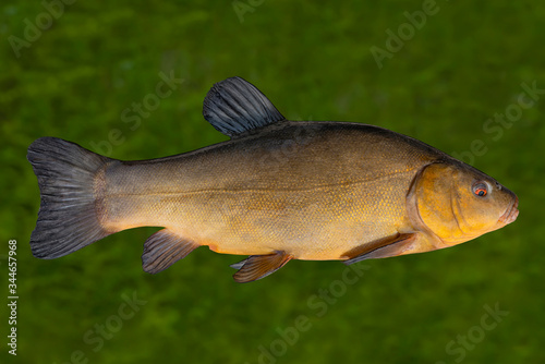 Fototapeta Alive golden tench fish with flowing fins underwater.