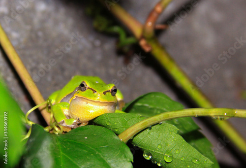 European tree frog (Hyla arborea) on plant leaf Canvas Print