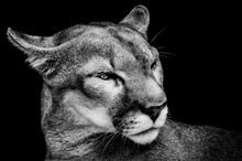 Close-up Of Mountain Lion Against Black Background
