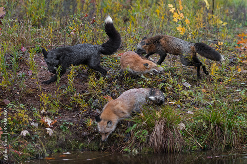 Skulk of Red Fox  Vulpes vulpes  Run Around Together at Waters Edge Autumn