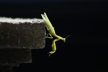 Close-up Of Praying Mantis On Rock