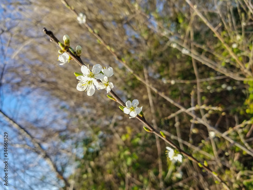 Flowered branch of backthorn or sloe Tablou Canvas