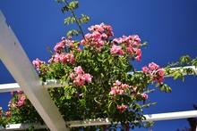 Climbing Garden Roses On Wooden Trellis.