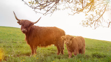 Closeup Portrait Of Beautiful Small Brown Calf Cow On A Highland Cattle Farm With Highland Cow In Background.