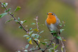 Eurasian robin (Erithacus rubecula) sitting on a branch with nice soft background. Cute songbird with orange throat. Wildlife scene from nature. Czech Republic