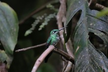 Green-crowned Brilliant Perching On Branch