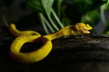 Close-up Of Eyelash Viper On Tree