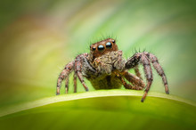 Beautiful Jumping Spider On Green Leaf