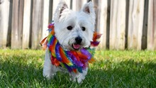 Close-up Of West Highland White Terrier Running On Field