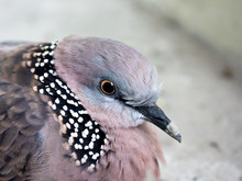 Close-up Of Spotted Dove