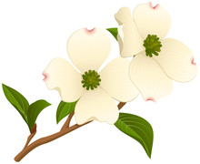 Vector Illustration Of A Branch Of A Dogwood Tree With Two Open Flowers.