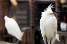 Close-up Of Snowy Egret