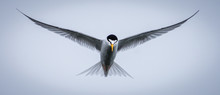 Low Angle View Of Tern Bird Flying Against Clear Sky