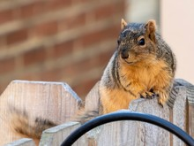 Closeup Shot Of A Chipmunk Sitting On A Wooden Fence