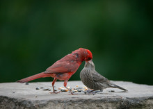 Close-up Of Cardinals