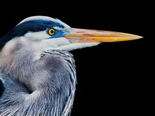 Profile View Of Great Blue Heron Against Black Background