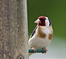 Close-up Of European Goldfinch Perching On Bird Feeder