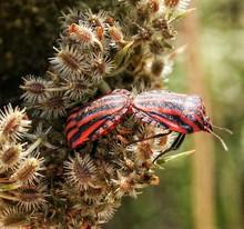 Pyrrhocoris Apterus Mating On Plant
