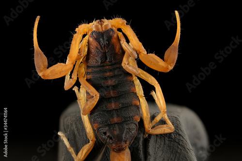 Photo The Yellow with black Striped Bark Scorpion, arthropod Macro specimen, back