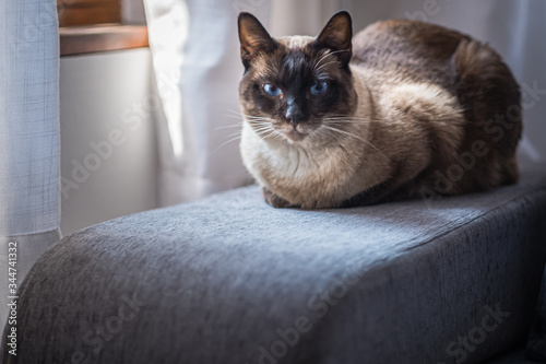 A Siamese cat with bright blue eyes near a window