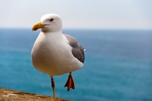 Closeup Shot Of A Seagull Standing With One Leg On A Stone With The Sea On The Background