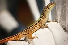 Close-up Of Lizard On Wagon Wheel