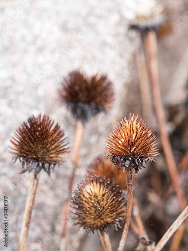 Fotografie, Tablou The center thistle portion of a dried Black Eyed Susan stands out in focus, in a cluster of other stems and thistles in a blurred background