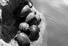 High Angle View Of Tortoises On Rock By Lake