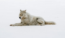 Wolf Resting On Snow Covered Field
