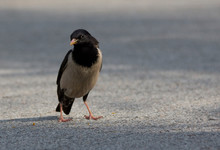 Close-up Of Black-billed Magpie On Road