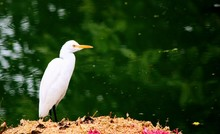 Great White Egret Standing Graciously