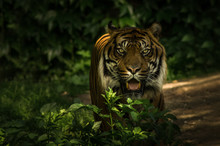 Portrait Of Tiger Standing By Plants