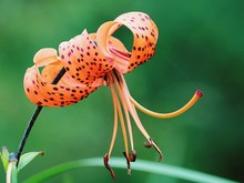 Close-up Of Tiger Lily Blooming Outdoors