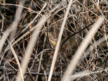 Female Daurian Redstart In Wet...