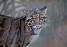 Portrait Of Clouded Leopard