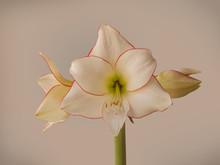 Hippeastrum (amaryllis) Diamon...