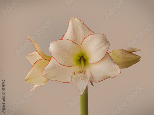 Photo Hippeastrum (amaryllis) Diamond Group Picotee