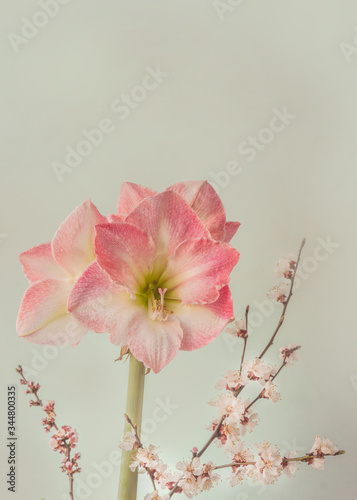 Valokuvatapetti Hippeastrum (amaryllis) Galaxy Group Caprice and flowering apricot branches on