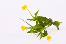 Wood Avens (Geum Urbanum), Or Herb Bennet, Colewort, Medicinal Plant On A White Background