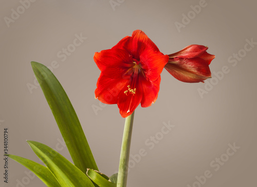 Red Hippeastrum (amaryllis) Missing Angel   on   grey background Wallpaper Mural