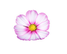 Mexican Aster Or Pink Cosmos F...