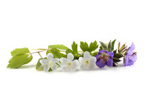 Wild Forest Flowers Isolated O...