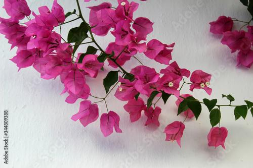 Flores rosas de buganvilla Canvas Print