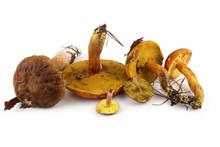 Different Boletus Mushrooms