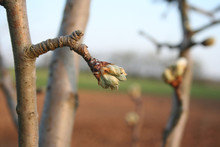White Pear Blossoms And Buds O...