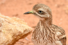 A Spotted Thick Knee (Burhinus...