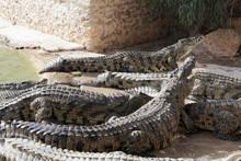 Crocodiles At A Crocodile Farm...