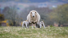 Sheep With Two Feeding Lambs L...