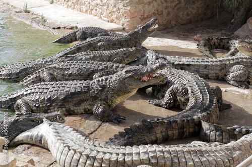 Crocodiles at a crocodile farm are awaiting feeding Canvas Print